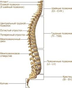 Роль позвоночника в организме человека, изображение 1 - spine5.com